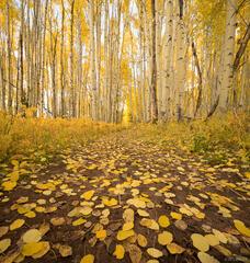 Colorado, Elk Mountains, Kebler Pass, aspens, October, Dark Canyon Trail
