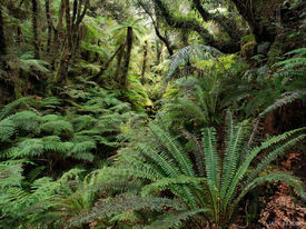 Copeland Track, rainforest, ferns, New Zealand