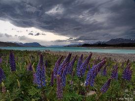 Lake Tekapo, lupines, South Island, New Zealand