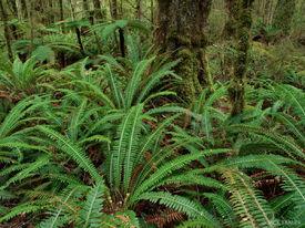 fern, rainforest, Kepler Track, Te Anau, New Zealand