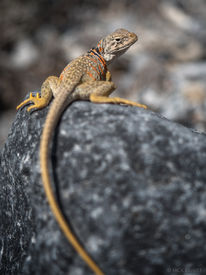 Collared Lizard in House Range