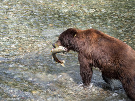Salmon and Grizzlies in Hyder, Alaska - August 2016