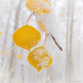 Snow Covered Aspen Leaf