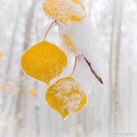 Snow Covered Aspen Leaf