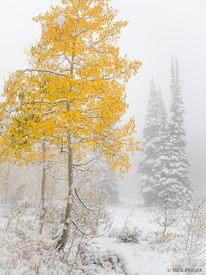 Snowy Golden Aspen