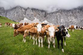 Karwendel Cows