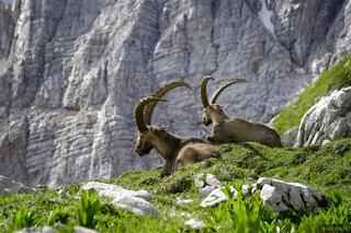 ibex, Julian Alps, Slovenia, Alps