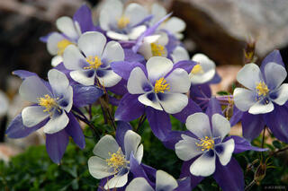 columbines, Colorado, columbine