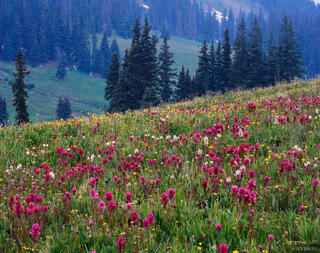 Wetterhorn Basin, wildflowers, Uncompahgre Wilderness, Colorado