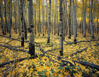 autumn, aspens, Colorado