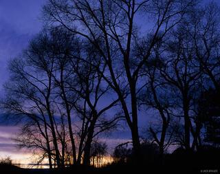 Cottonwood, silhouette, Ridgway, Colorado