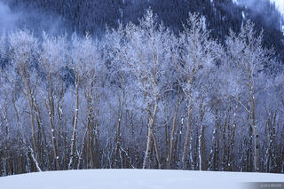 frosty aspens, Uncompahgre Wilderness, Colorado