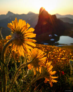 Good Morning, Wildflowers, San Juans, Colorado