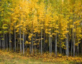 aspens, Wilson Mesa Trail, Telluride, Colorado