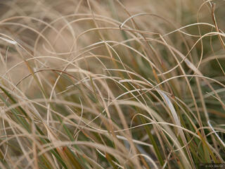 Tussock, grass, New Zealand