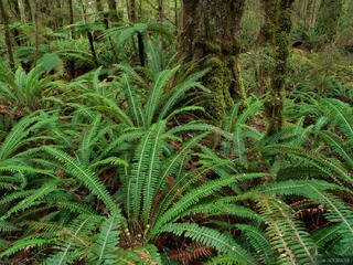 fern, rainforest, Kepler Track, Te Anau, New Zealand