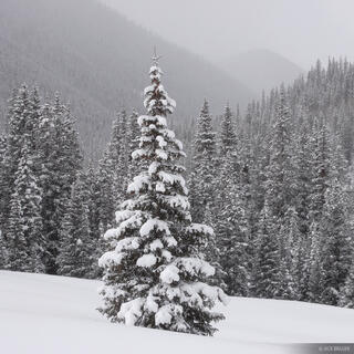 snowy, tree, San Juans, Colorado