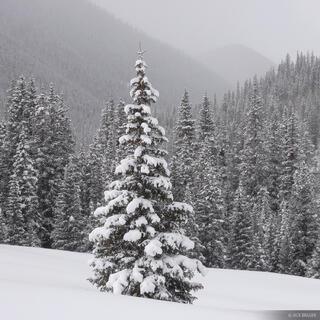 snowy, tree, San Juans, Colorado
