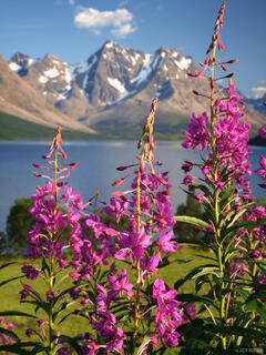 Lyngen Alps, Norway, fireweed, Jægervatnet