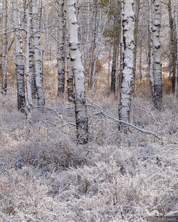 aspens, Wasatch Range, Utah, snow, october