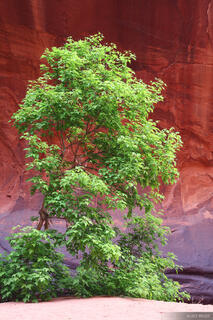Canyon, Escalante, Utah, tree, springtime, Grand Staircase-Escalante National Monument