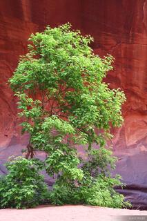 Canyon, Escalante, Utah, tree, springtime, Grand Staircase-Escalante National Monument