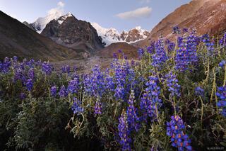 Cordillera Huayhuash, Peru, wildflowers, lupines, Sarapo, Rio Calinca