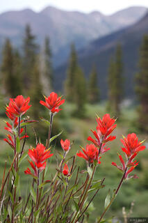 wildflowers, paintbrush, Weminuche, San Juan Mountains, Colorado