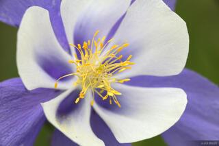 Columbine, San Juan Mountains, Colorado, macro, close up, wildflower