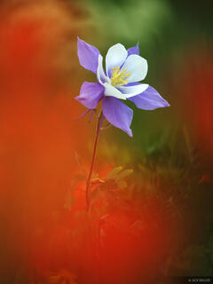 Columbine in the Red