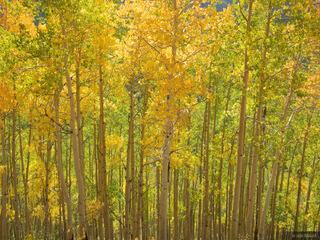 aspens, San Juan Mountains, Colorado