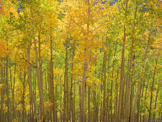 aspens, San Juan Mountains, Colorado