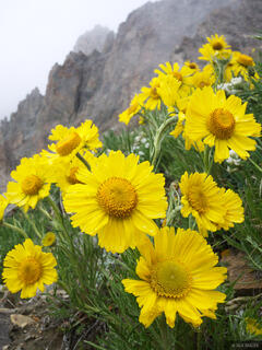Sunflowers, Trail Rider Pass, Elk Mountains, Colorado, Maroon Bells-Snowmass Wilderness