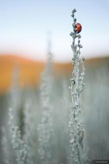 ladybug, sage, colorado