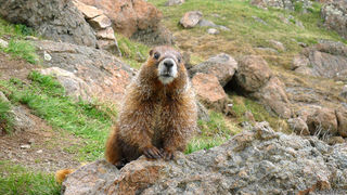 marmot, Uncompahgre Wilderness, Colorado