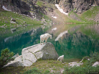 mountain goat, San Juan Mountains, Colorado, Sunlight Lake