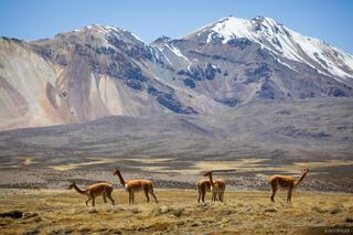 Chile, Las Vicuñas, South America