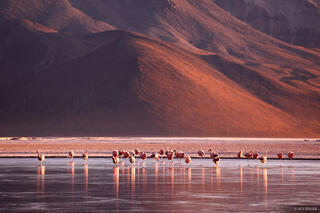 Salar de Surire, flamingos, sunrise