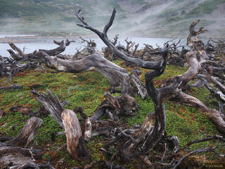 Chile, Isla Navarino, South America, Tierra del Fuego, beaver damage