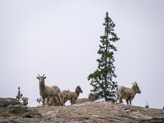 Colorado, Sangre de Cristos, bighorn sheep