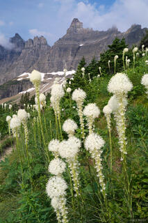 beargrass, Glacier National Park, Montana, wildflowers, Iceberg Lake