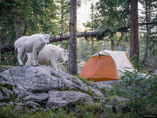 Mountain goats, Weminuche Wilderness, San Juan Mountains, Colorado, tent