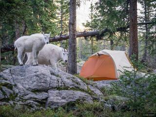 Campsite Goats