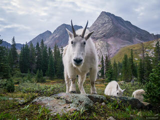 Mountain goat, Weminuche Wilderness, San Juan Mountains, Colorado, grenadier range