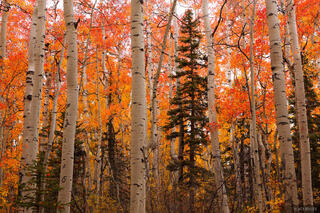 Aspens, San Juan Mountains, Colorado, red, september
