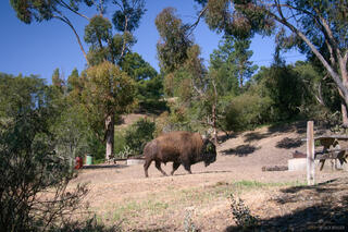 California, Catalina Island, bison