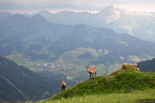 Allgäuer Alps, Europe, Germany, steinbock, Mittelberg