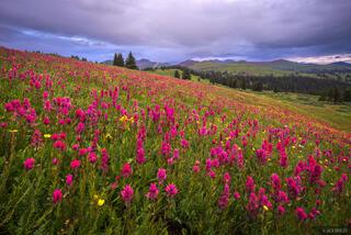 Colorado,San Juan Mountains,wildflowers, paintbrush