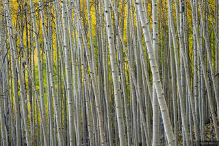 Colorado,San Juan Mountains, aspens