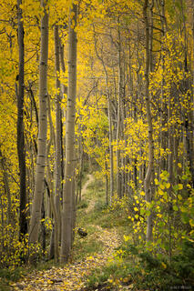 Colorado,San Juan Mountains, aspens, trail